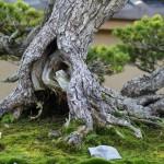 Chiyo-no-matsu _ pin blanc - omiya bonsai museum 06