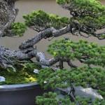 Chiyo-no-matsu _ pin blanc- omiya bonsai museum 07