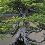 Chiyo-no-matsu _ pin blanc - omiya bonsai museum 08