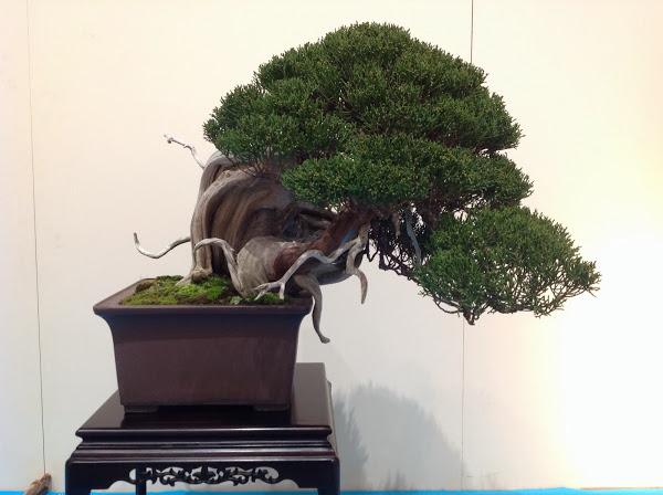 Prix kokufu 2014 - Bruno Beltrame - juniperus (ref-11)