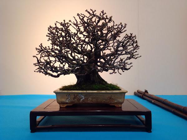 Prix kokufu 2014 - Bruno Beltrame - pseudocydonia sinensis (ref-11)