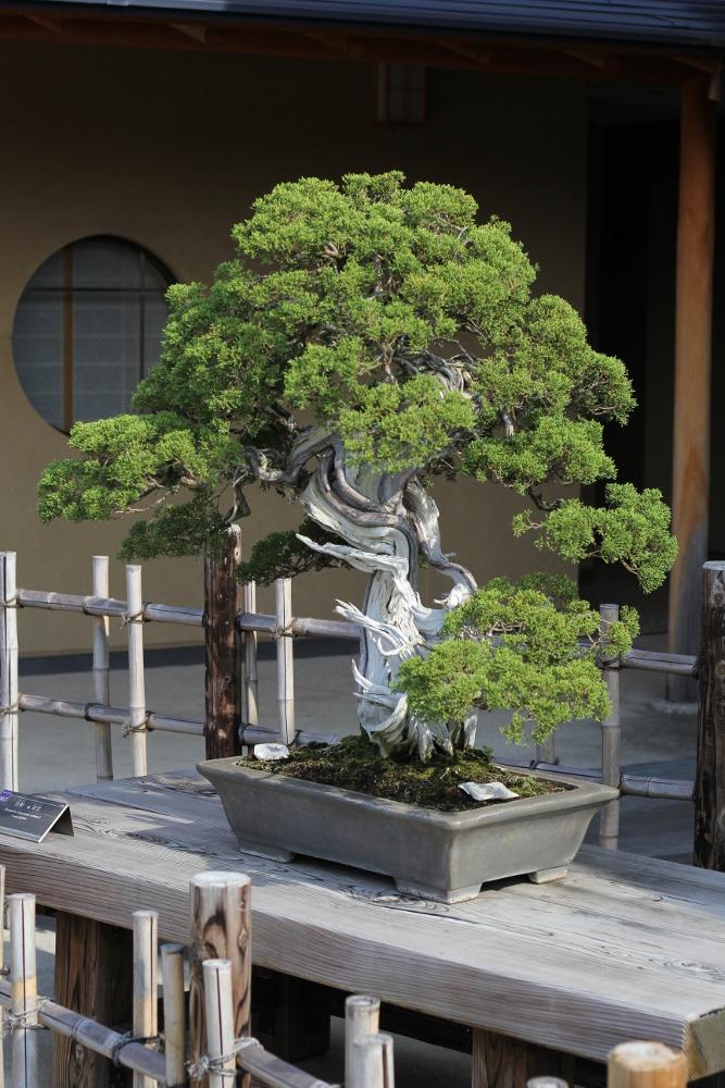 jyuun - shimpaku - omiya bonsai museum 01