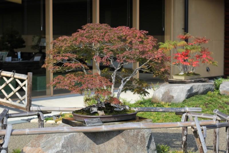 omiya bonsai museum _ musashi-ga-oka acer palmatum 01