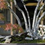 omiya bonsai museum _ musashi-ga-oka acer palmatum 02