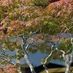 omiya bonsai museum _ musashi-ga-oka acer palmatum 03