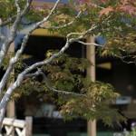 omiya bonsai museum _ musashi-ga-oka acer palmatum 04