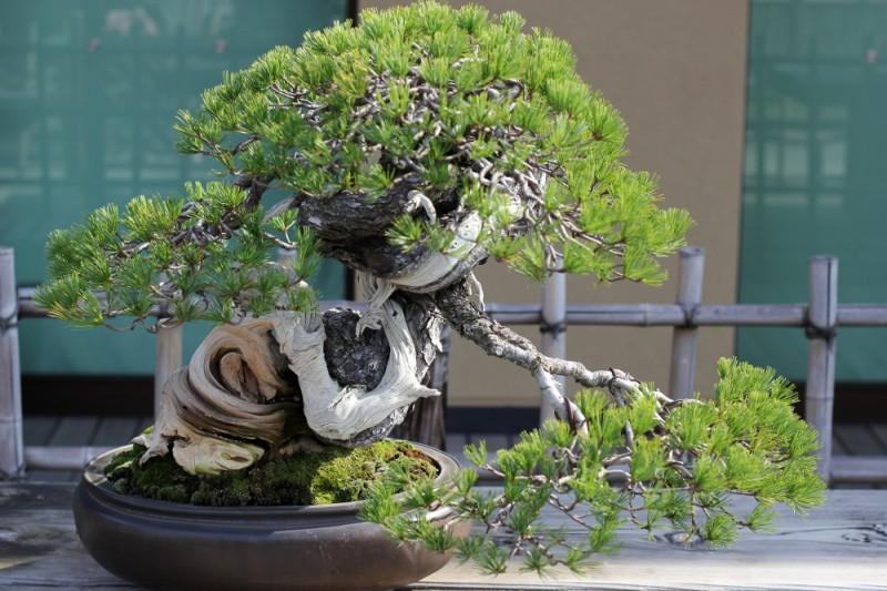 uzushio - pin blanc - omiya bonsai museum 01