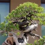 uzushio - pin blanc - omiya bonsai museum 05