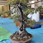 atelier de bonsai avec maitre abe - 03