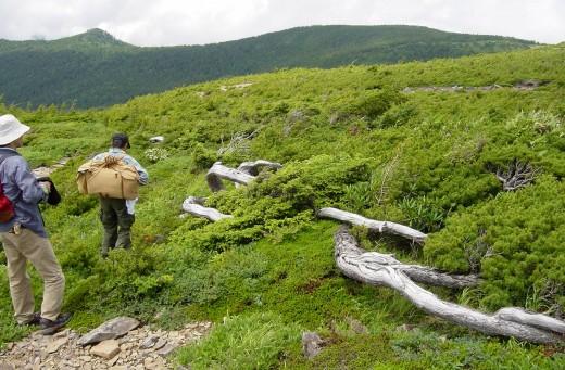 collecte des graines de pin blanc mont azuma