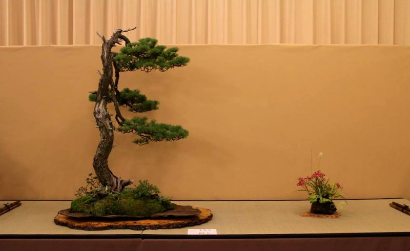 un pin blanc à l'apparence sauvage