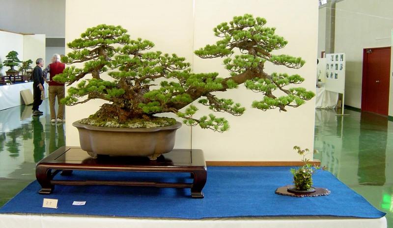 un pin de maître ABE exposé avec un kokedama
