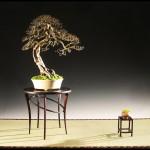 Histoire d'arbre: Orme Japonica – la Faille