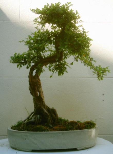 Histoire d 39 arbre orme japonica la faille for Arbre qui pousse rapidement