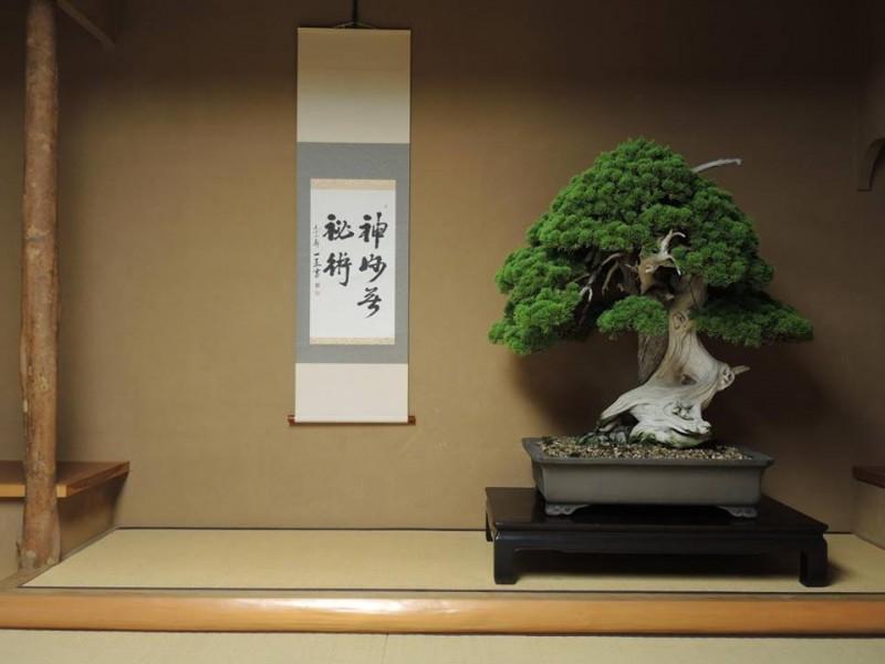 genévrier exposé à shunkaen