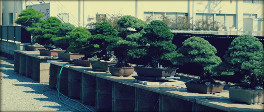 visite des pépinières de bonsaï au Japon