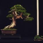 european bonsai-san show saulieu 2014 - genévrier 9