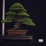 european bonsai-san show saulieu 2014 - pinus parviflora 11