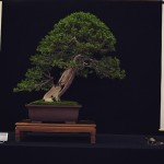 european bonsai-san show saulieu 2014 - taxus 2