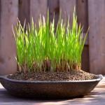 Imperata cylindrica dans un pot de Sozan