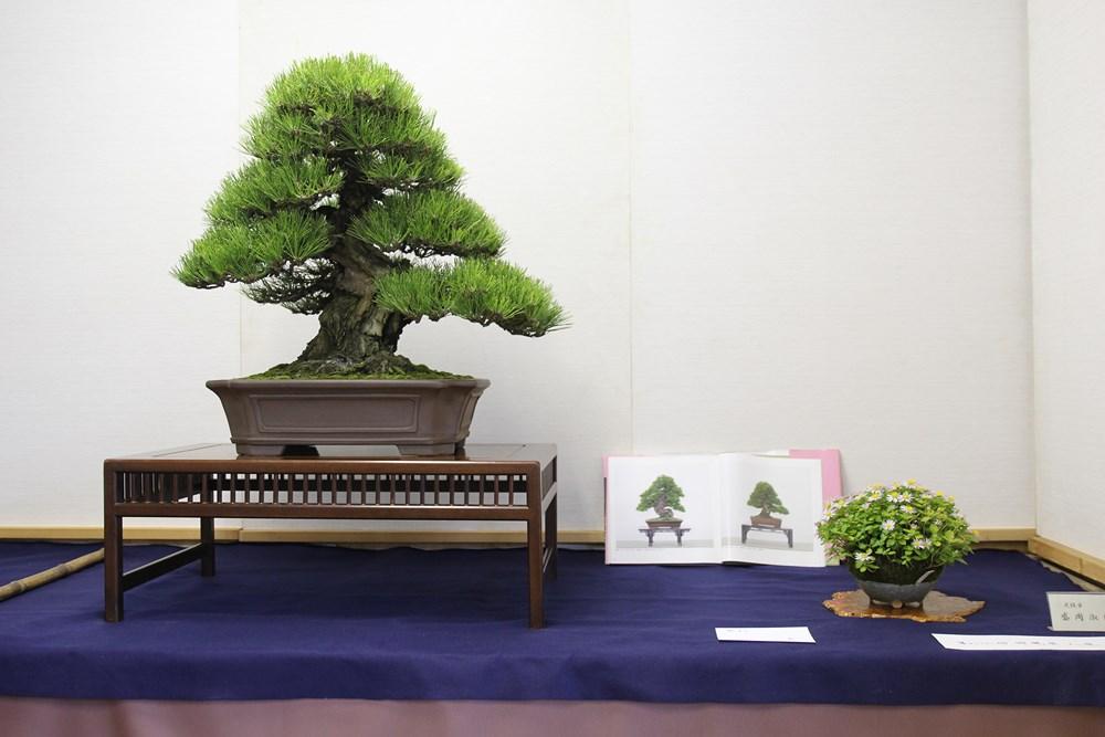 Le pin noir exposé à la kokufu-ten