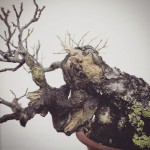 bois morts prunus mume
