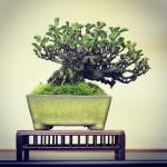 chaenomeles shohin bonsai syoukaen