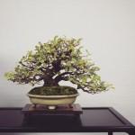 feuillu shohin bonsai syoukaen