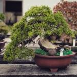 juniperus chinensis syoukaen