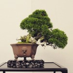 juniperus shohin syoukaen exposition