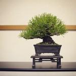 pinus thunbergii shohin bonsai syoukaen
