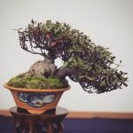 trachelospernum asiaticum shohin bonsai syoukaen