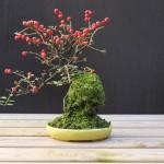 cotoneaster shohin à vendre