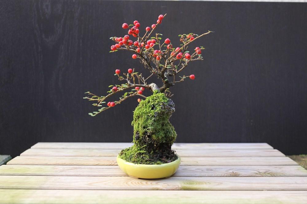 http://actubonsai.com/wp-content/uploads/2015/02/cotoneaster-shohin-à-vendre-2.jpg