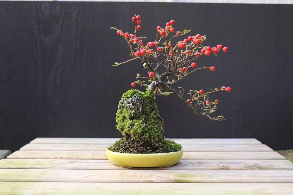 http://actubonsai.com/wp-content/uploads/2015/02/cotoneaster-shohin-à-vendre-3.jpg