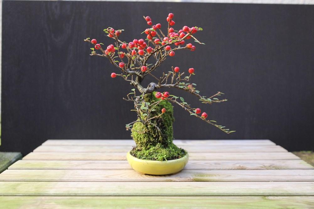 http://actubonsai.com/wp-content/uploads/2015/02/cotoneaster-shohin-à-vendre-4.jpg