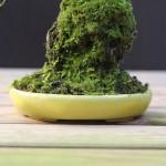 cotoneaster shohin à vendre detail du pot
