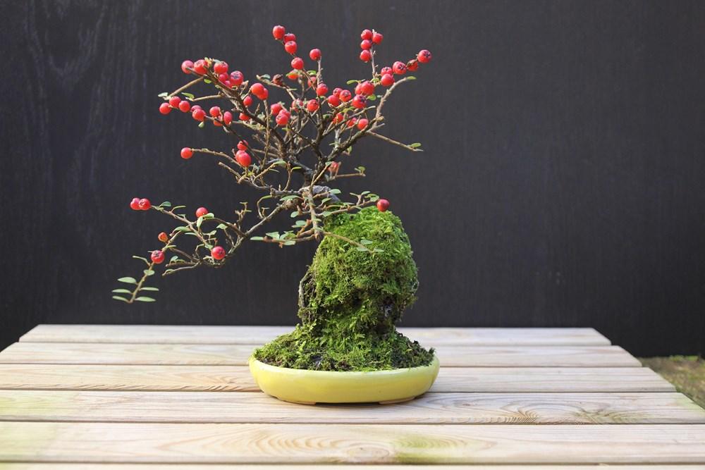 http://actubonsai.com/wp-content/uploads/2015/02/cotoneaster-shohin-à-vendre.jpg