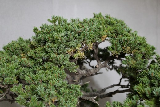 feuillage faible picea jezoensis