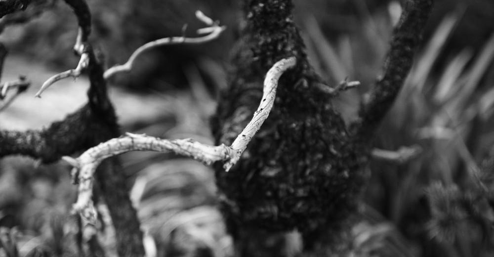 larves de parasite dans le bois d'un picea jezoensis