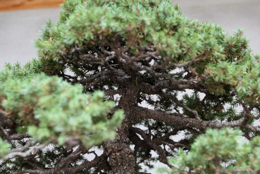 picea bonsai isamu murata