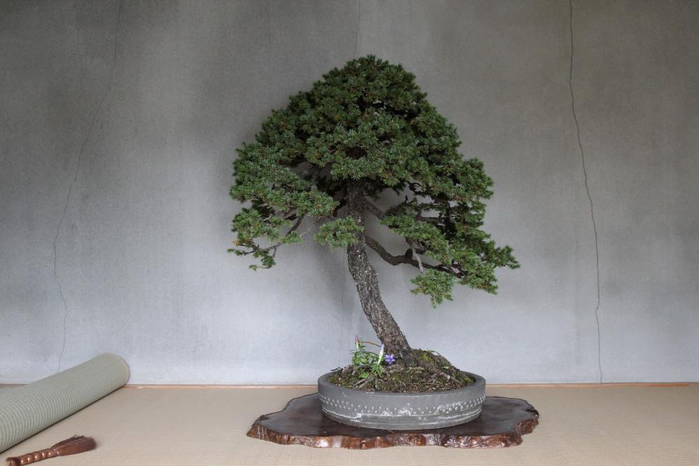 picea jezoensis de style shakan kyuka-en