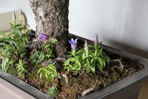 picea jezoensis detail des plantes dans le pot