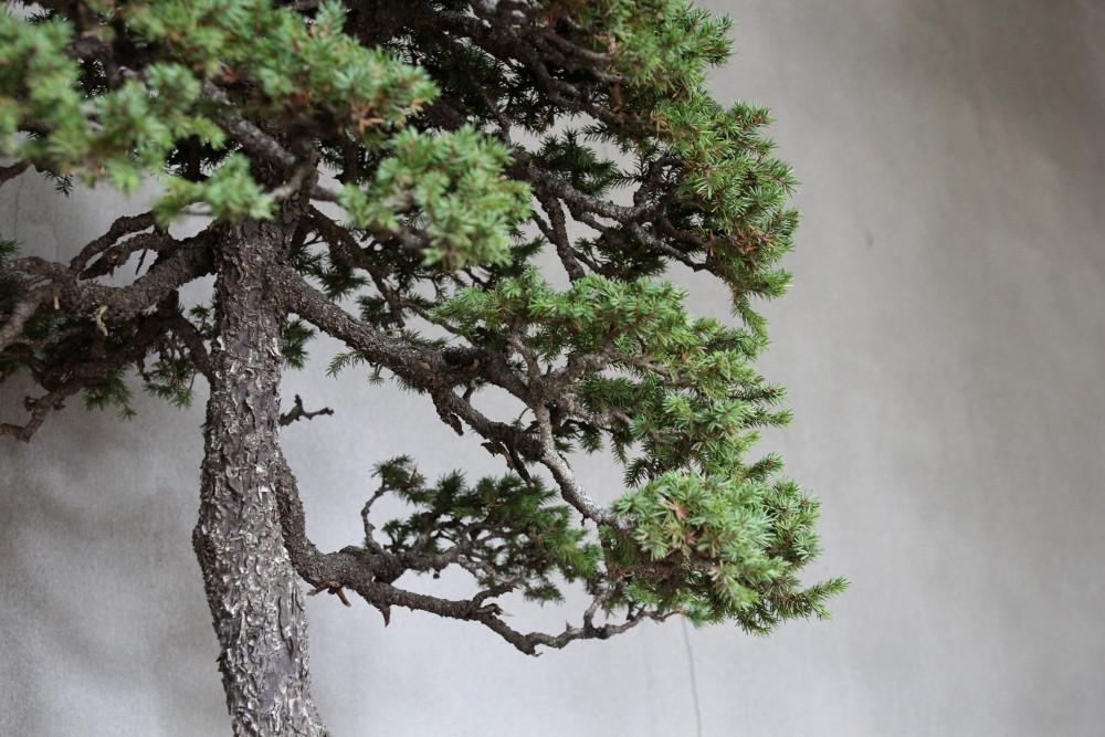 http://actubonsai.com/wp-content/uploads/2015/03/picea-jezoensis-murata-kyuka-en.jpg