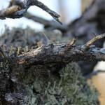 écorce et lichen de pin sylvestre