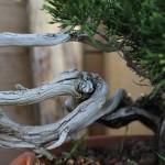 bois morts de juniperus sabina