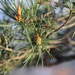 bourgeons de pin sylvestre