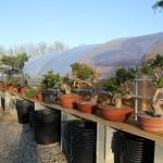 pepinière bonsai araki