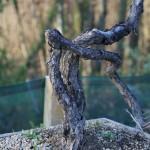 pin sylvestre bunjing