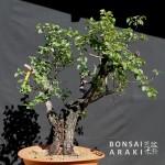 Yamadori de prunus mahaleb acheté à Bonsaï Araki
